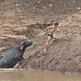 水牛を引き上げる